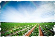 Gallery -  SSS Strawberry Field