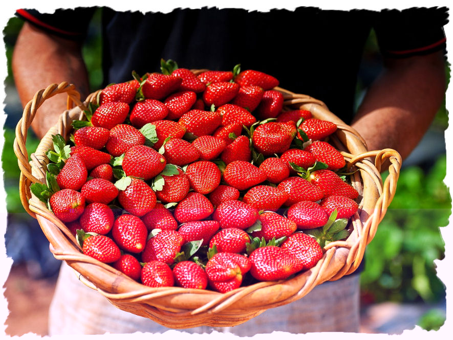 http://sss-strawberries.com.au/wp-content/uploads/2012/01/Gallery-man-with-basket-of-berries.jpg